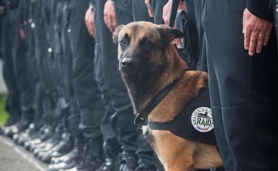 diesel il cane polziotto di sette anni ucciso nel raid