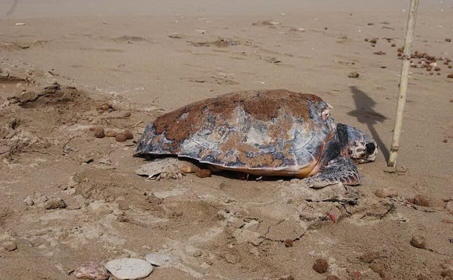 la tartaruga spiaggiata