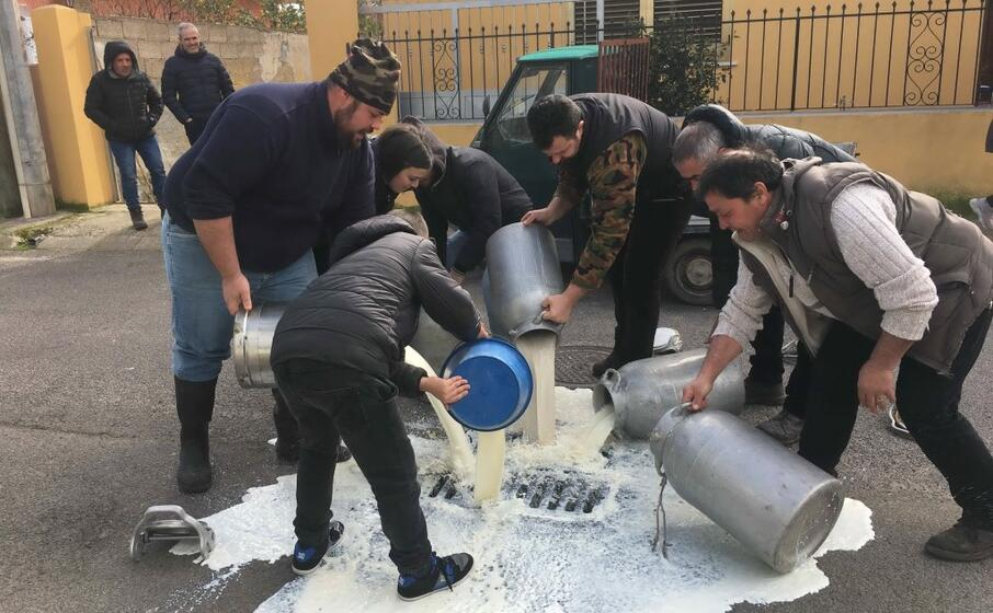 i pastori versano il latte a cabras (l unione sarda pinna)