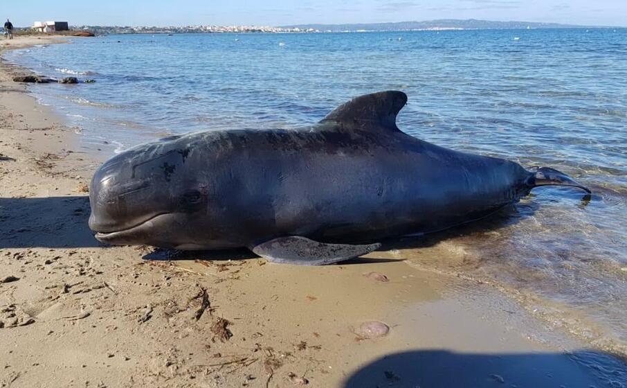 la cucciola di globicefalo trovata morta in spiaggia (foto andrea piras)