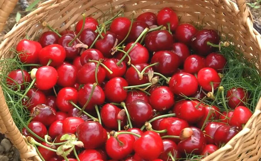 ciliegie della vallata di villascema a villacidro (foto l unione sarda cazzaniga)