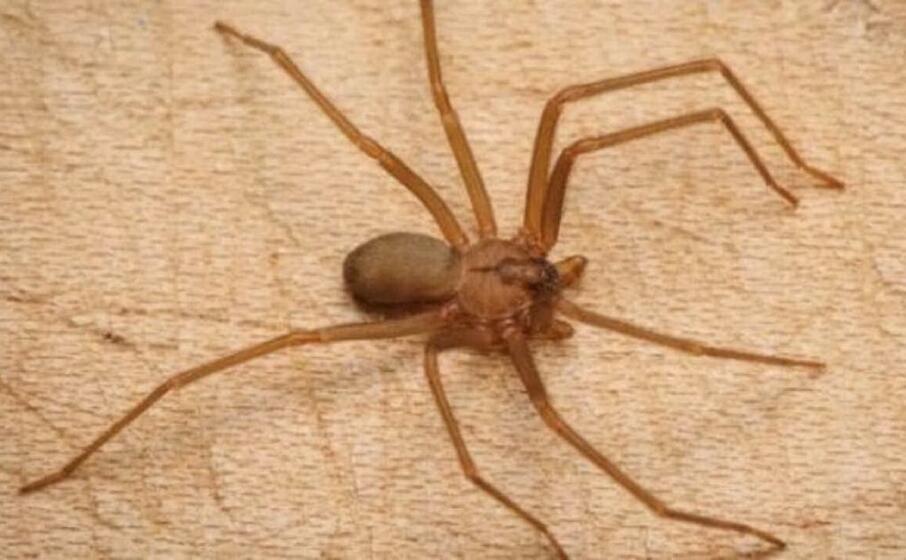 un esemplare di ragno violino (foto da google)