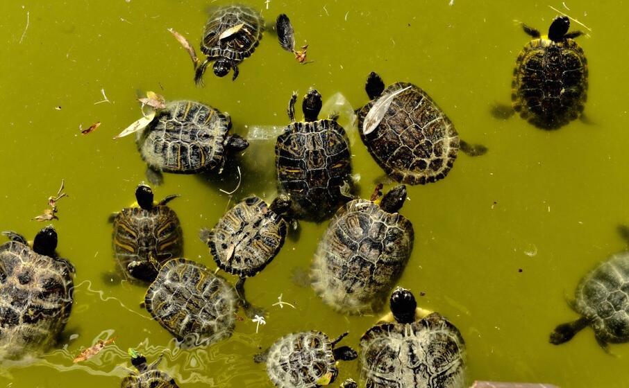 le tartarughe americane (l unione sarda piras)