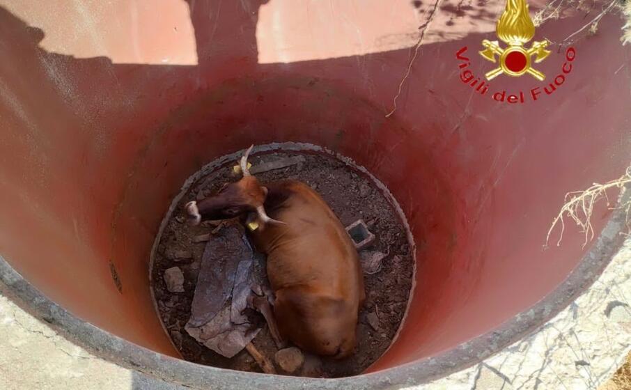 la mucca imprigionata (foto vdf)