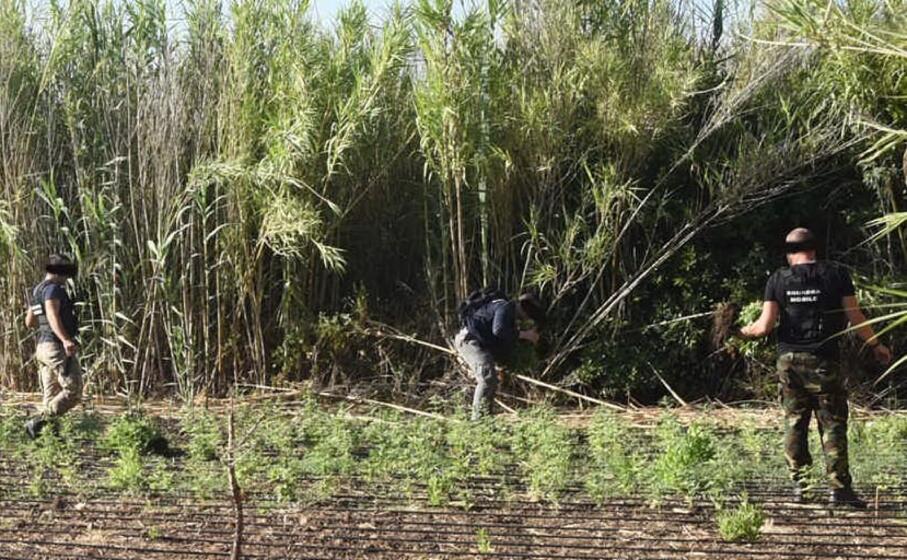 la piantagione posta sotto sequestro (foto polizia di oristano)