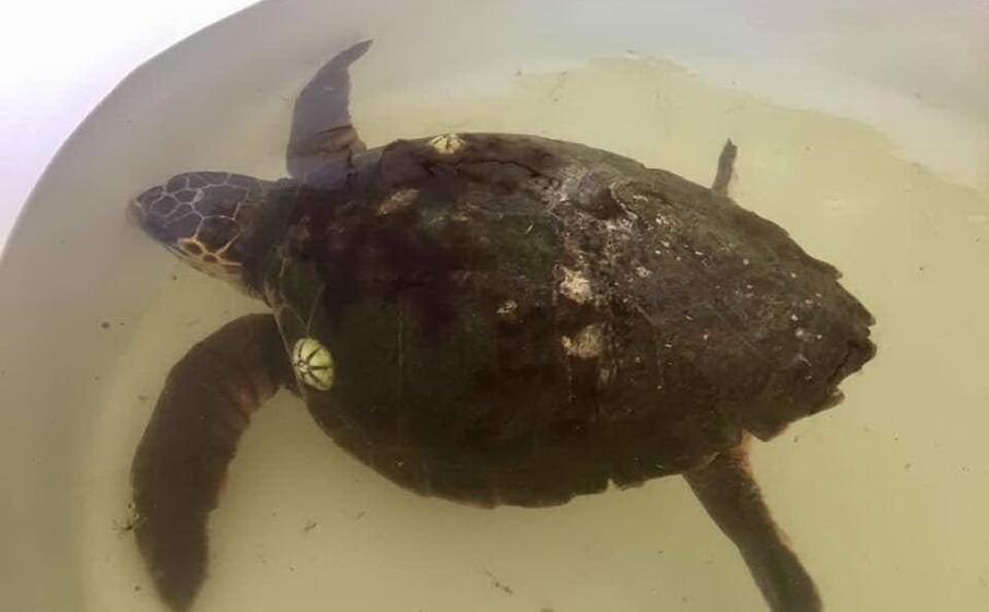 la tartaruga (foto l unione sarda s pinna)