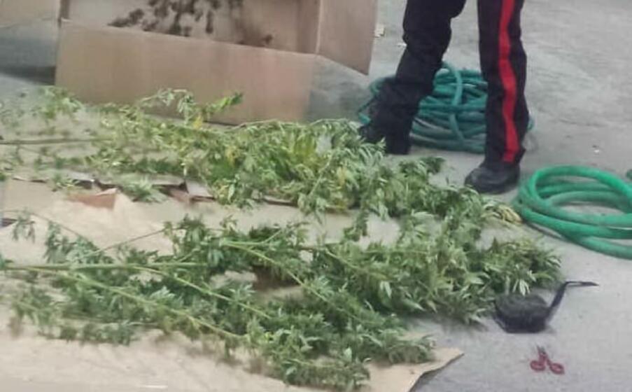 le piante sequestrate (foto carabinieri di nuoro)