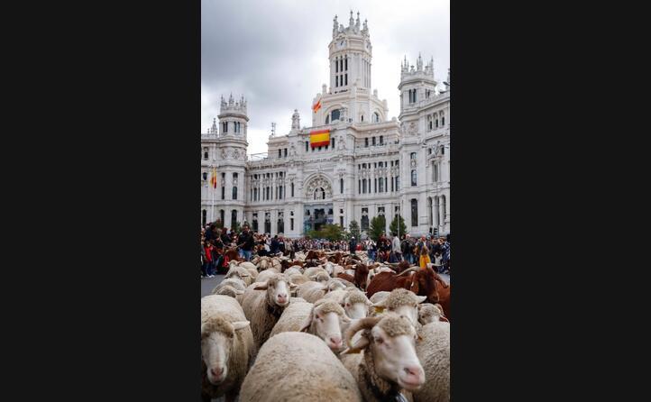 le pecore sono state portate fino al municipio