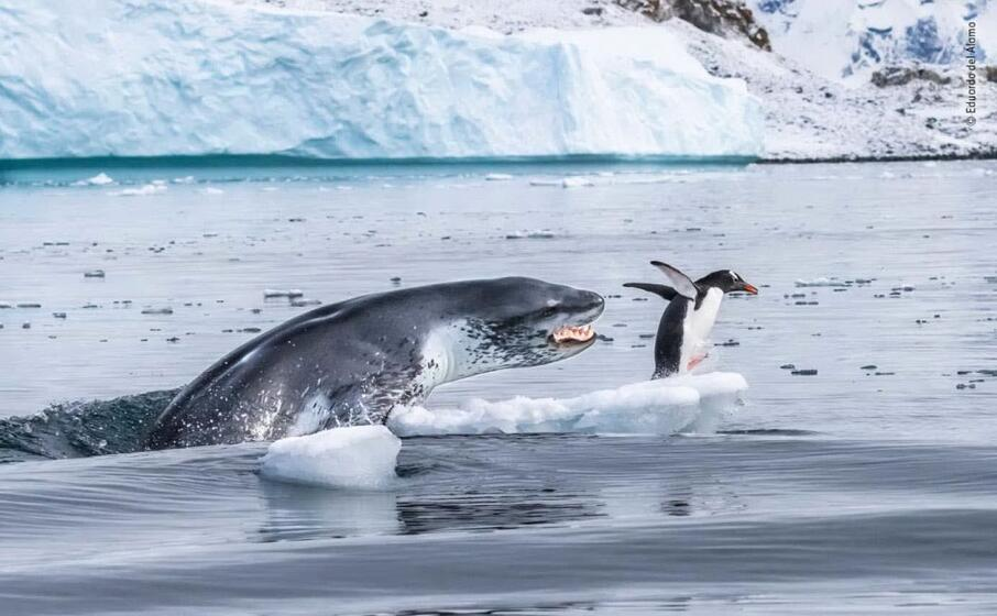 l attacco di una foca ad un pinguino di eduardo del alamo