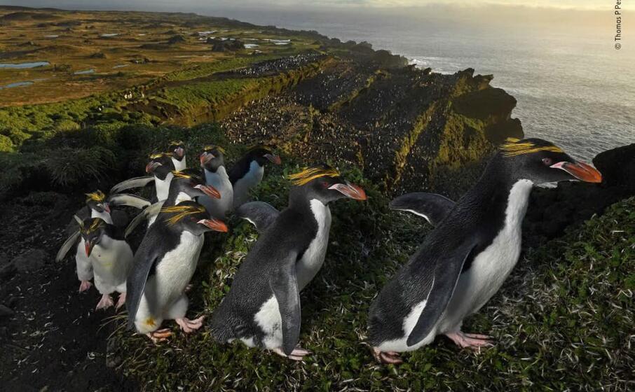 pinguini in processione in sudafrica di thomas peschak