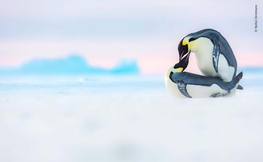 siamo nella baia di atka in antartide stefan christmann fotografa due pinguini reali