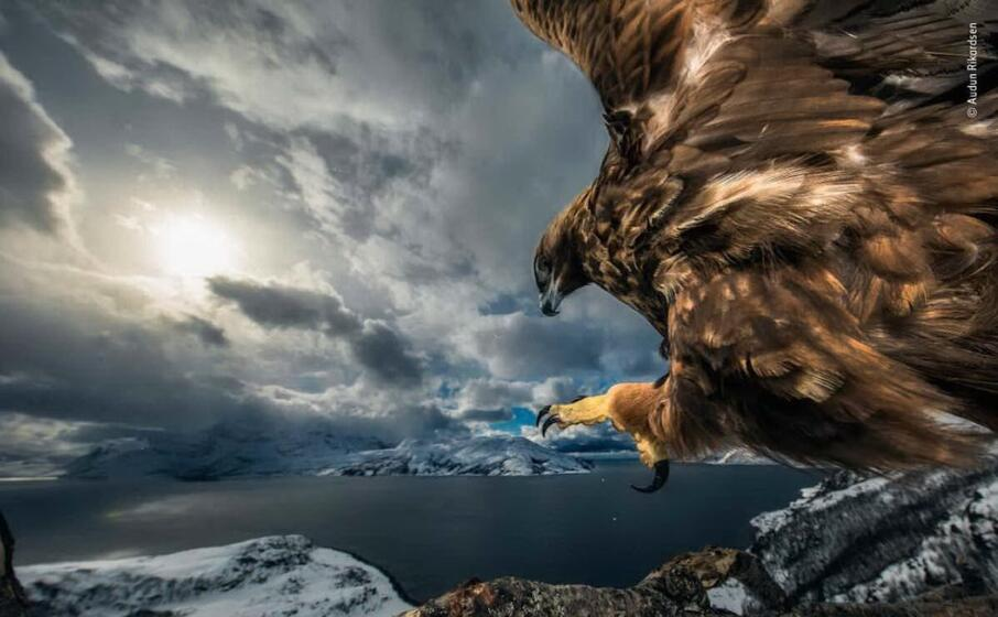 un aquila reale in norvegia di audun rikardsen
