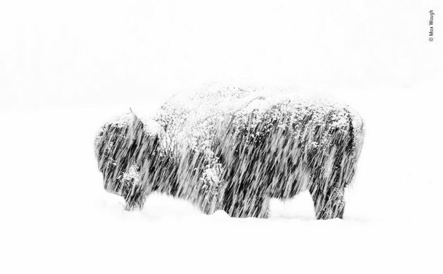 un bisonte durante una tempesta di neve foto di max waugh