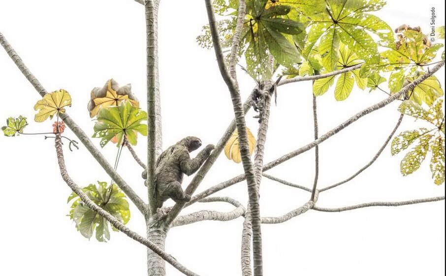 un bradipo scende da un albero di dani salgado