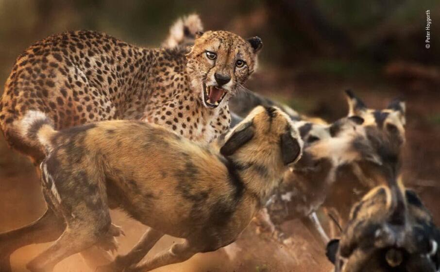 un ghepardo viene attaccato da un branco di cani selvaggi in sudafrica di peter haygarth
