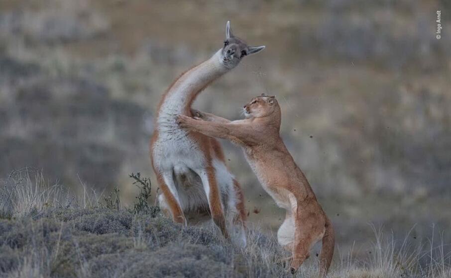 un puma attacca un guanaco di ingo arndt