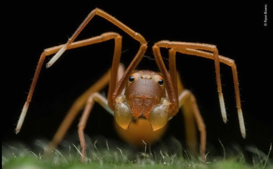 un ragno granchio in india di biswas