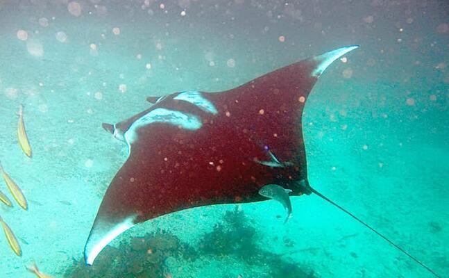 un esemplare di manta (foto wikipedia)