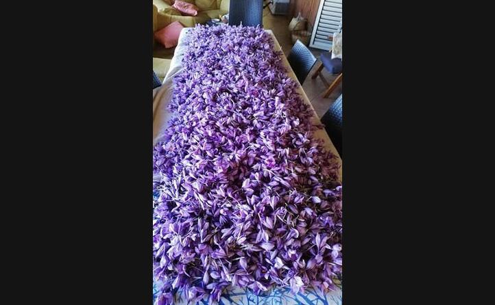 la fioritura dello zafferano avviene una volta all anno