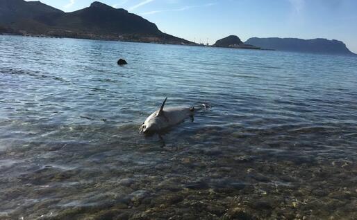 La carcassa del delfino (foto L'Unione Sarda - Serreli)