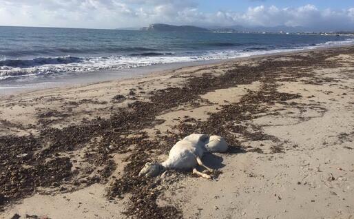 La pecora morta (foto Giorgia Daga)