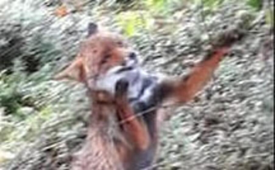 la volpe liberata (foto corpo forestale)