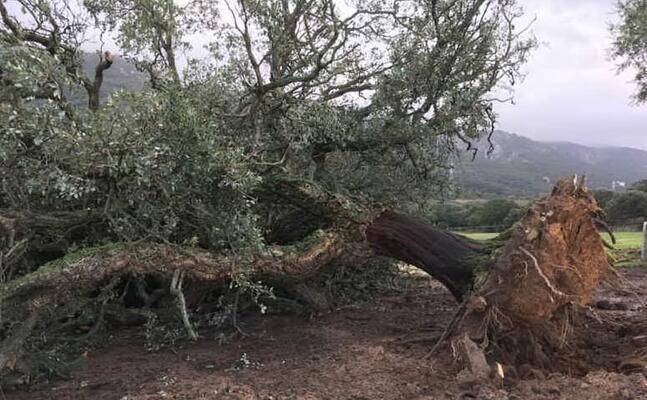la quercia sradicata dal vento alle falde del limbara (foto a busia)