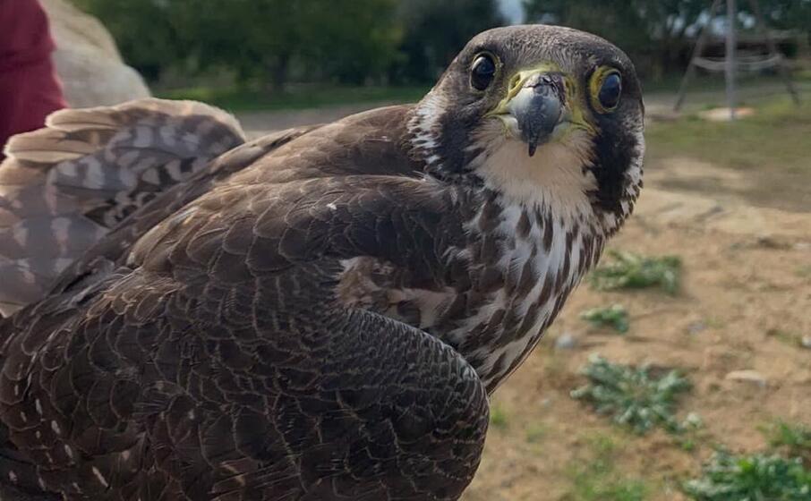 il falco pellegrino ferito (l unione sarda foto cazzaniga)