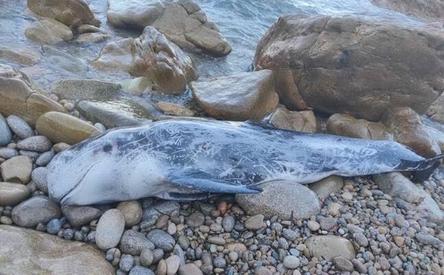 il cetaceo trovato a monti russu (foto a busia)