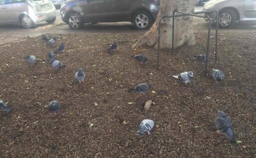 La colonia di piccioni di via Cino da Pistoia (foto Marcello Cocco)