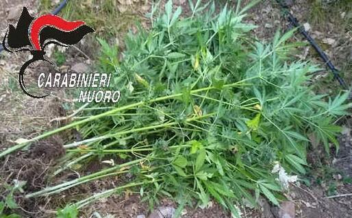 Alcune piante sequestrate (foto carabinieri)