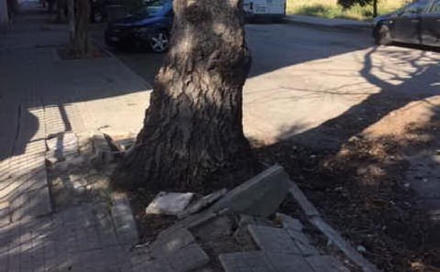 uno degli alberi che verranno abbattuti (foto amministrazione)