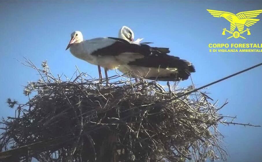 due cicogne impegnate nella nidificazione (foto corpo forestale)