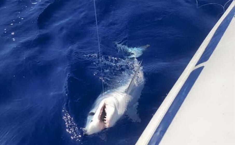 squalo mako catturato accidentale nel golfo di cagliari (archivio unione sarda)