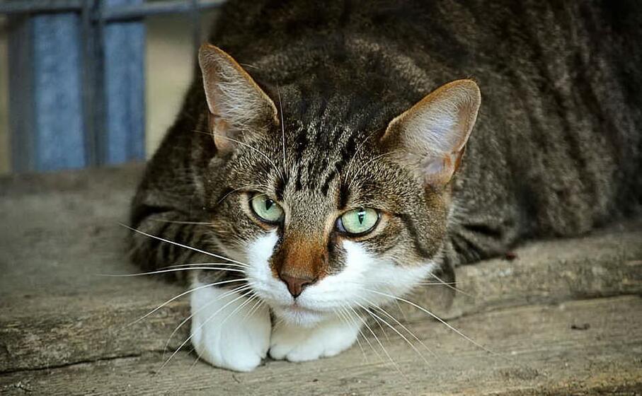 Gatto con virus morde padrona, indagini