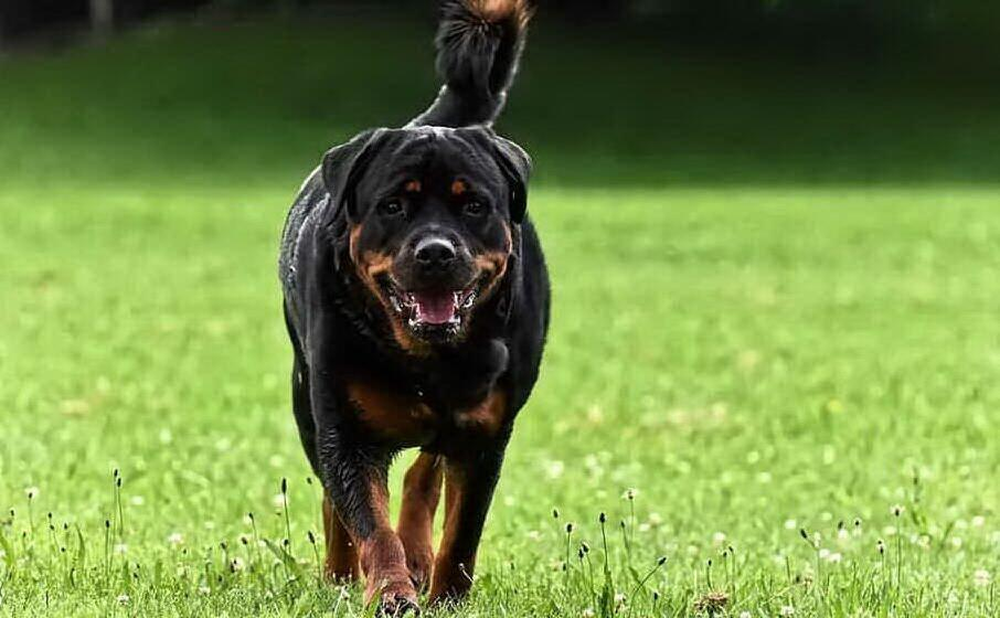 un rottweiler (foto pixabay)