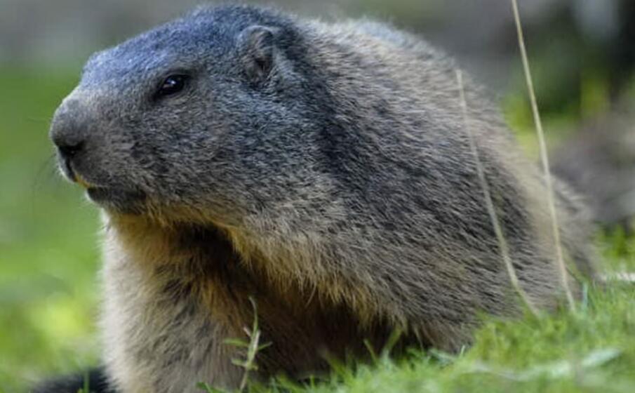una marmotta (foto da google)