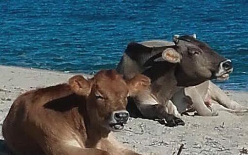 Bovini in spiaggia in Ogliastra (Loi)