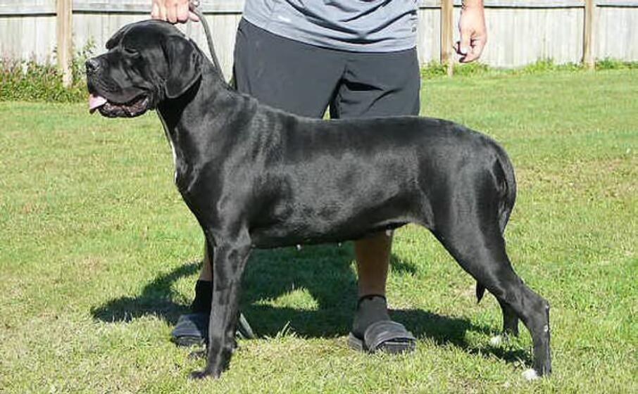 un cane di razza corsa (foto wikipedia)