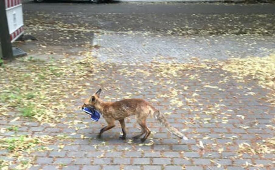 la volpe (foto da facebook felix hackenbruch)