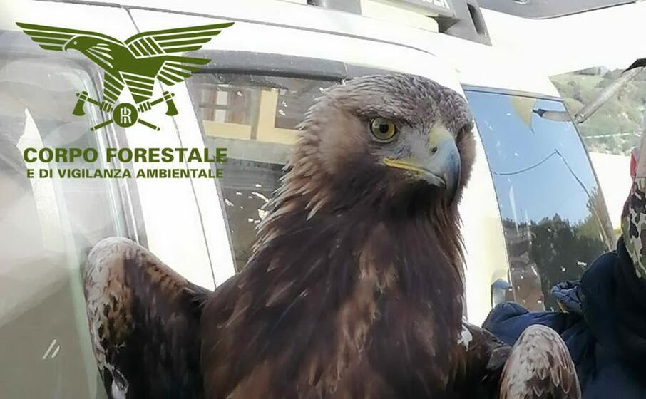 Oniferi La Forestale Salva Uno Splendido Esemplare Di Aquila Reale L Unione Sarda It