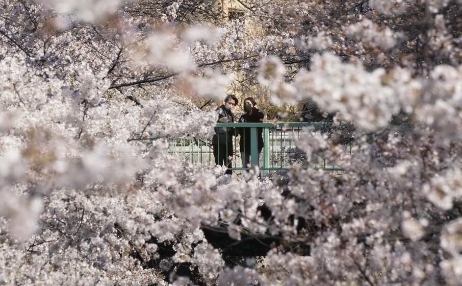 in giappone iniziata la fioritura dei ciliegi
