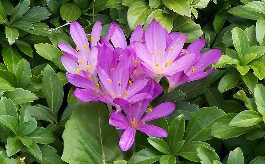 i fiori di falso zafferano (foto wikipedia)